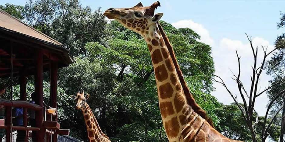 Nairobi - Giraffe Centre